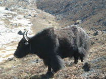 Yak at Ama Dablam