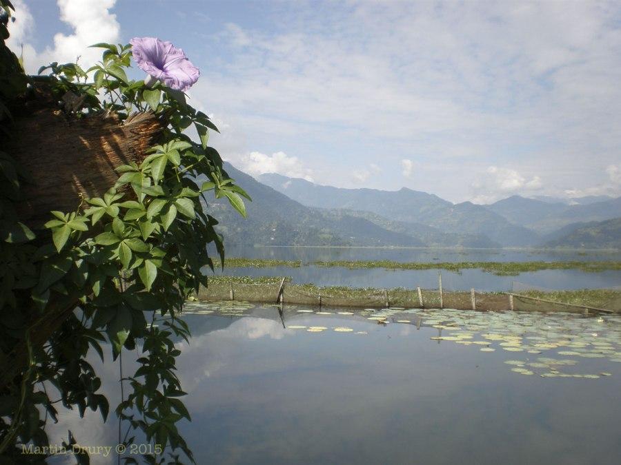 Flower at Lake Phewa